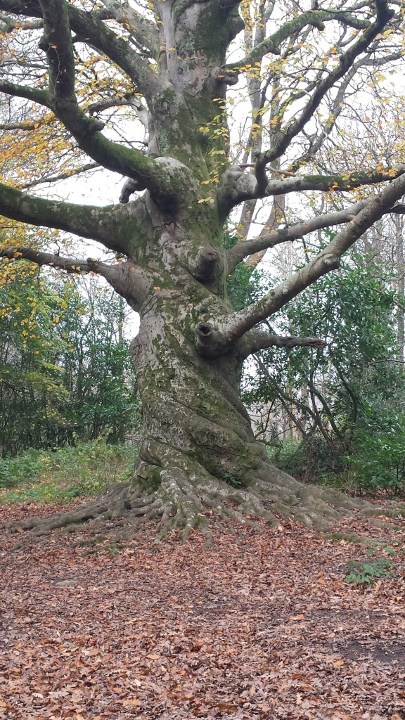 Tree showing distinct twisting in the trunk.